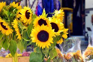 Photo Stories Athens Sunflower Mythology